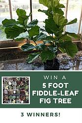 Gardening Know How: Fig Tree Giveaway